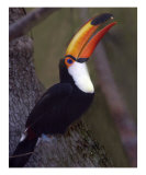 617 Tucan Photographic Print by Scott Kuehn