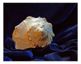 Shell On Blue Velour Photographic Print by Lynda Lehmann