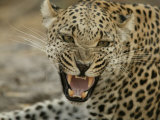 Female Leopard, Panthera Pardus, Snarling, Mombo, Okavango Delta, Botswana Photographic Print by Beverly Joubert