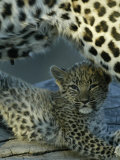 Leopard Cub, Panthera Pardus, Lying Underneath its Mother, Mombo, Okavango Delta, Botswana Photographic Print by Beverly Joubert