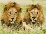 Lion, Duba, Okavango Delta, Botswana Fotodruck von Beverly Joubert