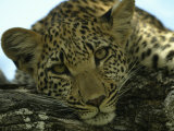 Female Leopard, Panthera Pardus, Resting on a Log, Mombo, Okavango Delta, Botswana Fotoprint van Beverly Joubert