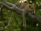 Young Leopard, Panthera Pardus, Rests on a Tree Limb, Mombo, Okavango Delta, Botswana Fotografisk tryk af Beverly Joubert