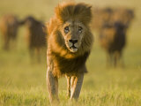Lion, Duba, Okavango Delta, Botswana Photographic Print by Beverly Joubert