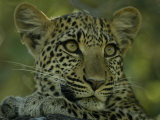 Portrait of an Alert Female Leopard, Panthera Pardus, at Rest, Mombo, Okavango Delta, Botswana Photographic Print by Beverly Joubert
