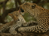 Mother Leopard, Panthera Pardus, Grooming Her Cub, Mombo, Okavango Delta, Botswana Photographic Print by Beverly Joubert