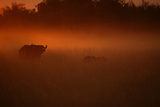 LionStalking an African Buffalo, Duba, Okavango Delta, Botswana Photographic Print by Beverly Joubert
