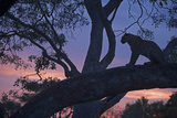 Leopard in a Tree Top Perch at Dusk, Mombo, Okavango Delta, Botswana Photographic Print by Beverly Joubert