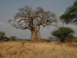 African Baobab Tree in the Tarangire National Park, Tanzania, Africa Photographic Print by Gina Martin