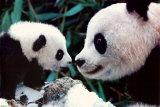 Pandas Prints