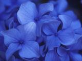 Close View of Blue Hydrangea Flowers, Cape Cod, Massachusetts Fotografisk tryk af Darlyne A. Murawski