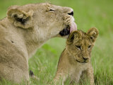 Lion Cub Being Groomed by Female, Duba, Okavango Delta, Botswana Photographic Print by Beverly Joubert