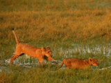 African Lion Cubs, Panthera Leo, Walking Through Grassy Wetlands, Okavango Delta, Botswana Photographic Print by Beverly Joubert