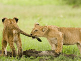 Lion Cubs Playing, Duba, Okavango Delta, Botswana Fotodruck von Beverly Joubert