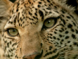 Close-Up of the Face of a Leopard, Panthera Pardus, Mombo, Okavango Delta, Botswana Photographic Print by Beverly Joubert