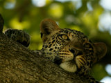 Close-Up of a Leopard Lying on a Tree Branch, Mombo, Okavango Delta, Botswana Photographic Print by Beverly Joubert