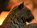 Close-Up of a Leopard, Mombo, Okavango Delta, Botswana Photographic Print by Beverly Joubert