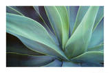 Agave Cactus Print