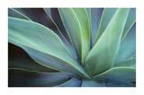 Agave Cactus Print