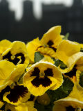 Close-Up of Pansies, Amsterdam, Holland, Europe Photographic Print by  Keenpress