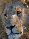 Portrait of a Male African Lion, Panthera Leo, Okavango Delta, Botswana Photographic Print by Beverly Joubert