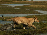 African Lioness, Panthera Leo, Running Through Flooded Grassland, Okavango Delta, Botswana Photographic Print by Beverly Joubert