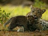 Leopard Licks a Young Cub, Mombo, Okavango Delta, Botswana Fotografisk tryk af Beverly Joubert