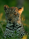 Leopard, Panthera Pardus, Resting in the Grass, Mombo, Okavango Delta, Botswana Photographic Print by Beverly Joubert