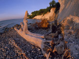 Driftwood Tree Trunk on a Pebbly Beach under Clay Cliffs Photographic Print by Norbert Rosing
