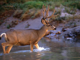 Mule Deer Crosses a River, Colorado River, Grand Canyon National Park, Arizona, United States Photographic Print by Kate Thompson