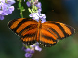 Orange Tiger Butterfly Nectaring on Blue Flowers, Westford, Massachusetts Photographic Print by Darlyne A. Murawski