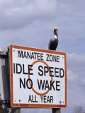 Brown Pelican Perched Upon a No Wake Warning Sign, Manatee Springs, Florida Photographic Print by Paul Sutherland