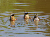 Dabbling Mallard Ducks, Anas Platyrhynchos, Bottoms Up, Arlington, Massachusetts, USA Photographic Print by Darlyne A. Murawski