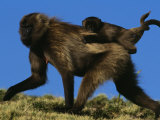 Female Gelada Gives Her Infant a Ride on Her Back, Simen Mountains National Park, Ethiopia Photographic Print by Michael Nichols