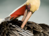 Close-Up of a Preening Brown Pelican, San Diego, California, USA Photographic Print by Tim Laman