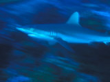 Gray Reef Shark Swims in the South Pacific, Phoenix Islands Photographic Print by Nick Norman