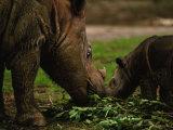 Captive Foraging Sumatran Rhinoceros and Her Calf, Cincinnati, Ohio Photographic Print by Joel Sartore