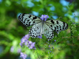 Rice Paper Butterfly, Idea Leuconoe, Drinks Nectar from Purple Flowers Photographic Print by Darlyne A. Murawski