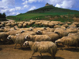 Herd of Sheep, Spain Photographic Print by Nick Norman