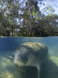Florida Manatee Swimming in the Clear Homosassa Springs Water, Homosassa Springs, Florida Photographic Print by Paul Sutherland