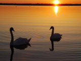 Two Mute Swans in the Narragansett Bay at Sunrise, Cranston, Rhode Island Fotografie-Druck von Darlyne A. Murawski