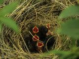 Savannah Sparrow Nest on Ground, Alaska, United States Photographie par Michael S. Quinton