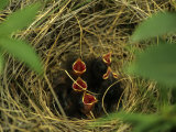 Savannah Sparrow Nest on Ground, Alaska, United States Photographic Print by Michael S. Quinton