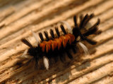 Milkweed Tussock Moth Caterpillar, Westford, Massachusetts Photographic Print by Darlyne A. Murawski