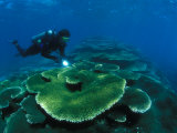 Diver over Table Top Corals, Phoenix Islands Photographic Print by Nick Norman