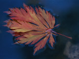 Single Fallen Japanese Maple Leaf Floats in the Water, New York Photographic Print by Darlyne A. Murawski