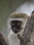 Black-Faced Vervet Monkey Perched in a Tree, Mombo, Okavango Delta, Botswana Photographic Print by Beverly Joubert
