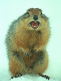 Arctic Ground Squirrel Barring its Teeth, Northwest Territories, Canada Photographic Print by Nick Norman