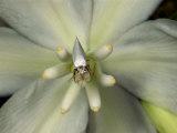 Yucca Moth Pollinating a Yucca Flower Photographic Print by Darlyne A. Murawski