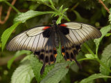 Great Mormon Butterfly, Victoria, British Columbia, Canada Photographic Print by Darlyne A. Murawski